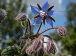 Borage (Borago officinalis)